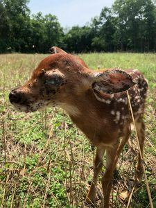 Fawn covered in ticks
