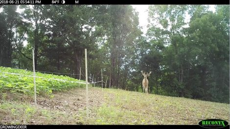 A deer next to a food plot protected by a Hot Zone fence