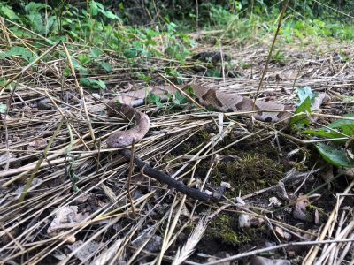 Cooperhead snake in the woods