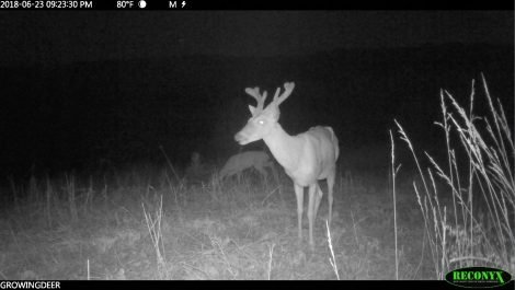 A Reconyx trail camera image of a buck