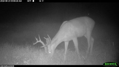 A buck without velvet