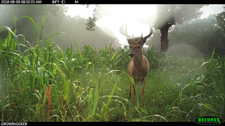 young velvet buck in summer soil builder food plot