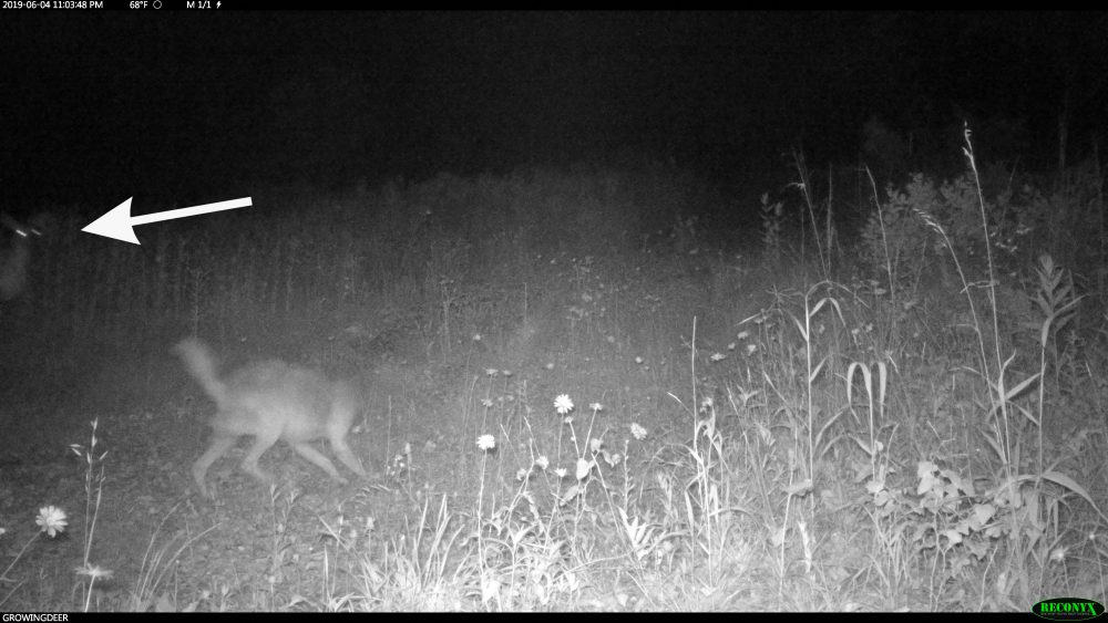coyote scent trailing a fawn with doe looking on