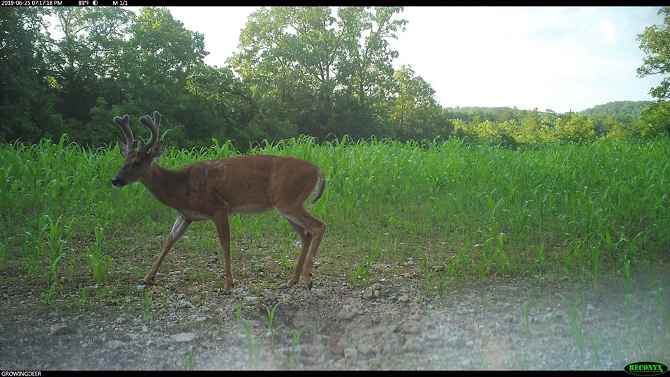 Mature buck in velvet antlers: late June