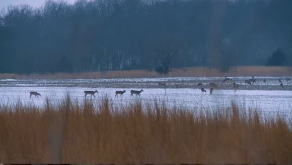 Deer in a Northern Missouri Ag Field