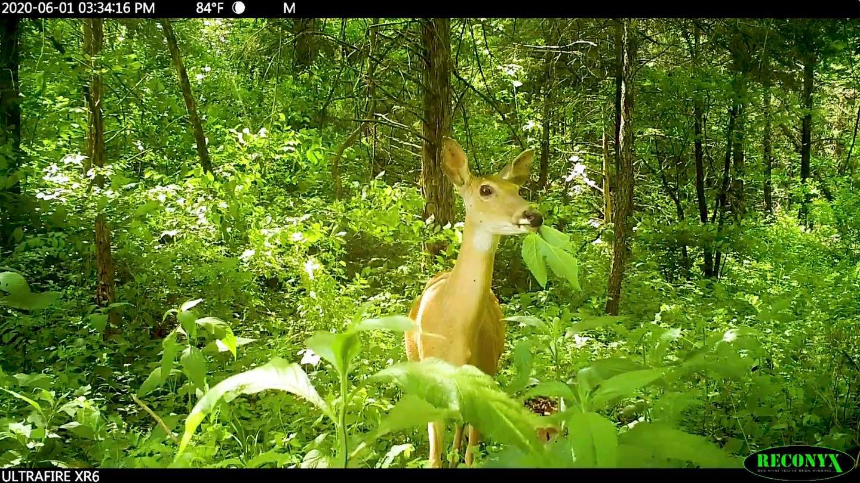 doe eating native plants
