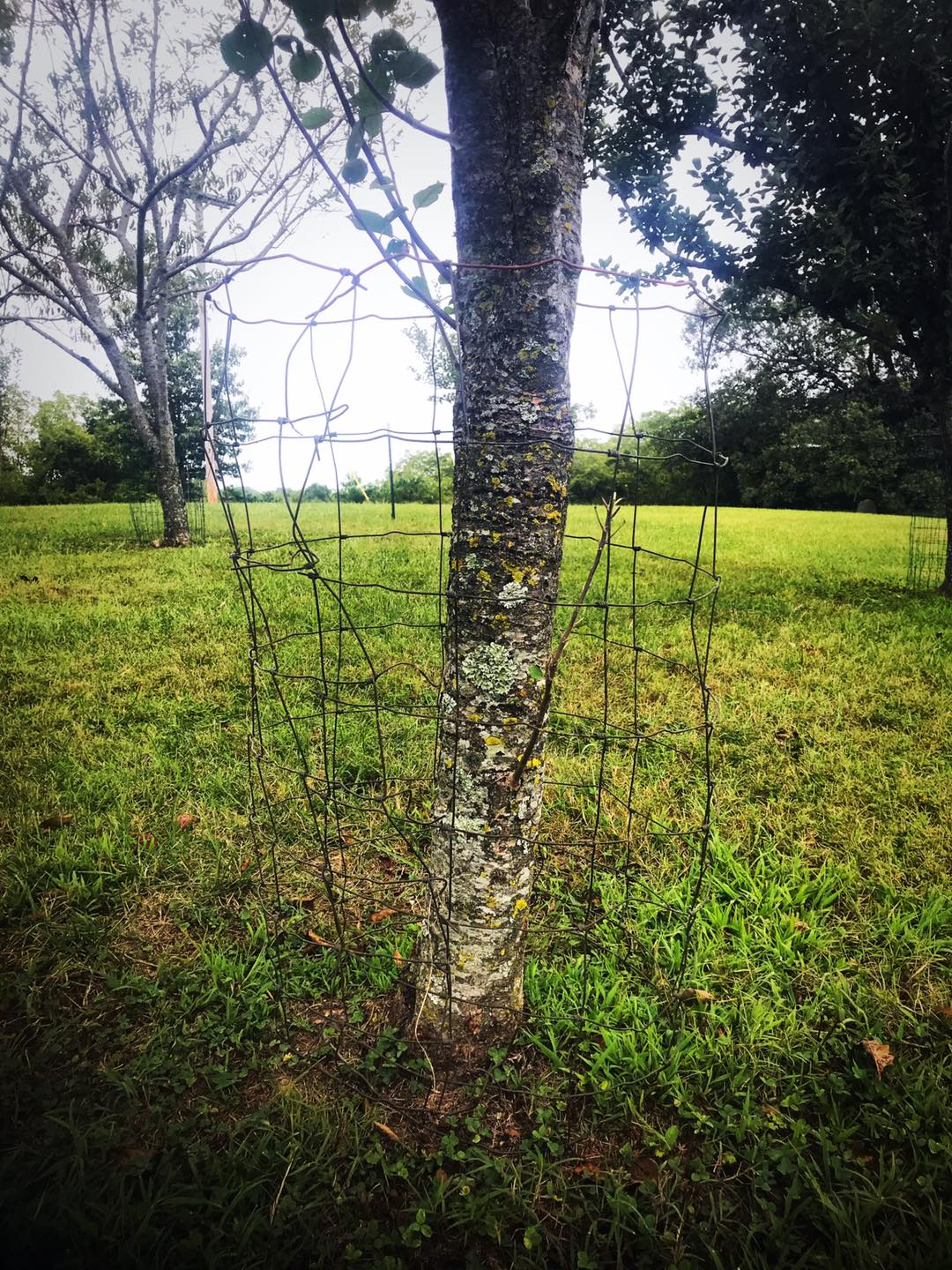 wire cange to protect trees from bucks rubbing antlers